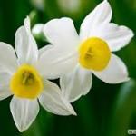 خواص درمانی و شگفت انگیز گل نرگس